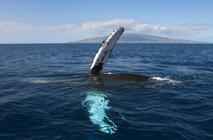 maui-whale