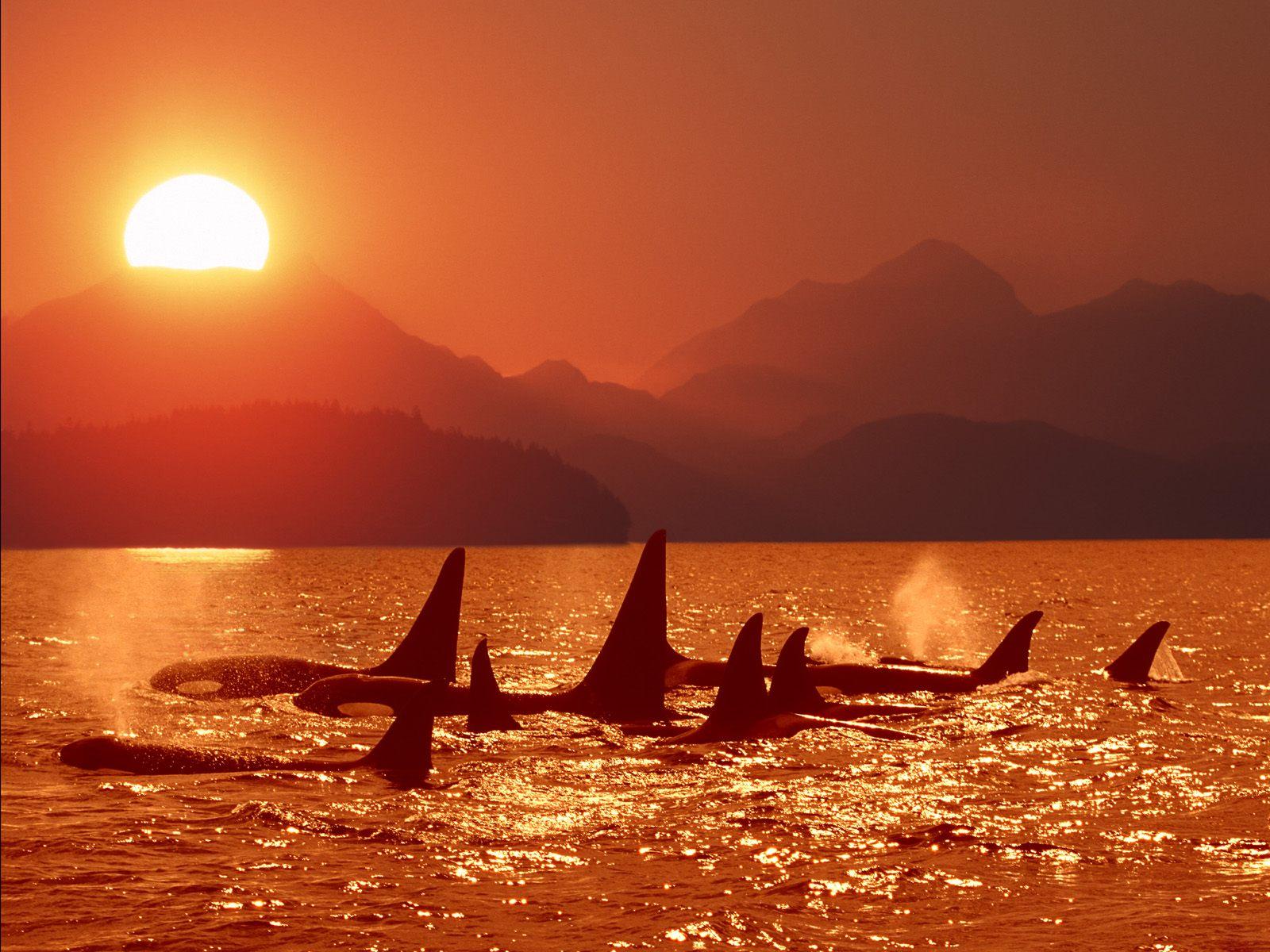 sunset-orca-pod