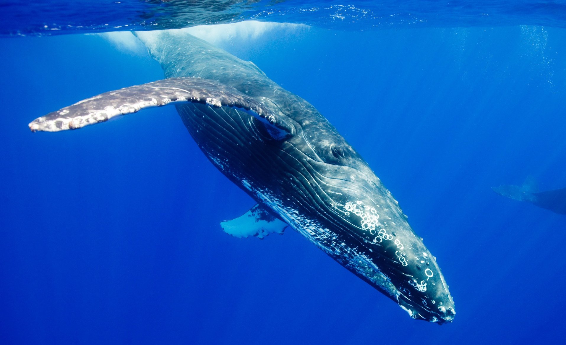 humpback_whale-wallpaper-1920x1200