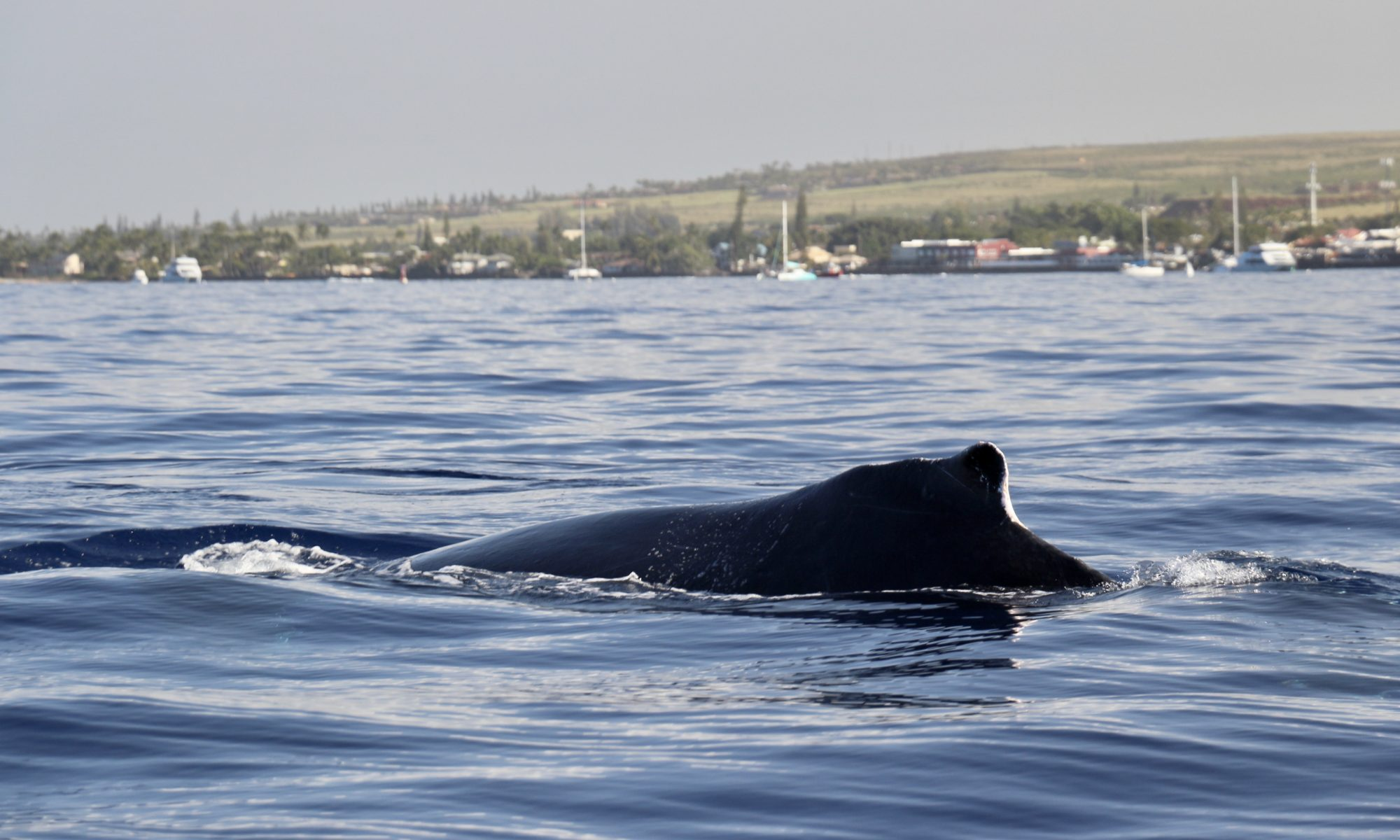 Photo of the hump on a humpback whale