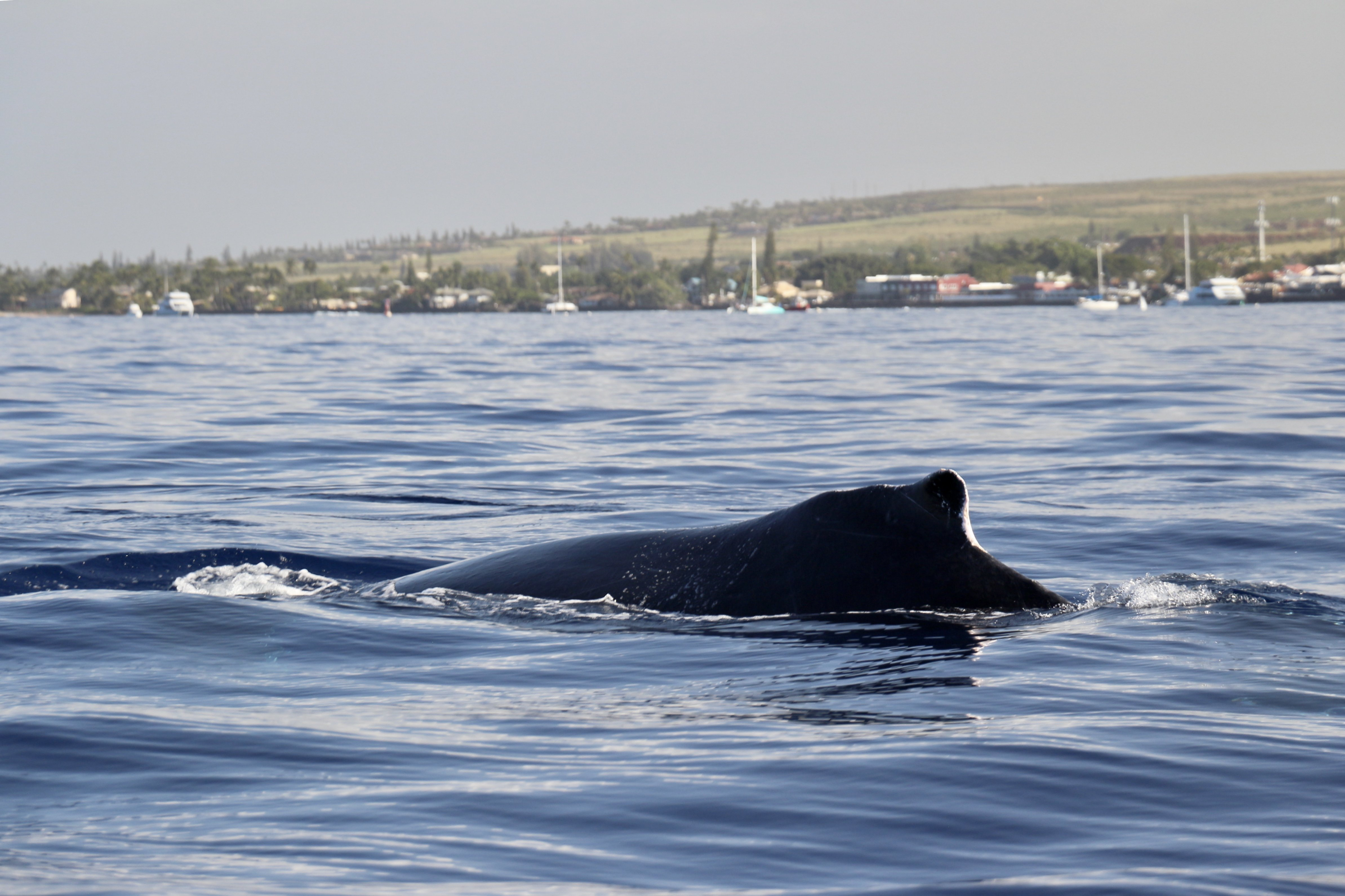 Photo of the hump on a North Pacific humpback whale