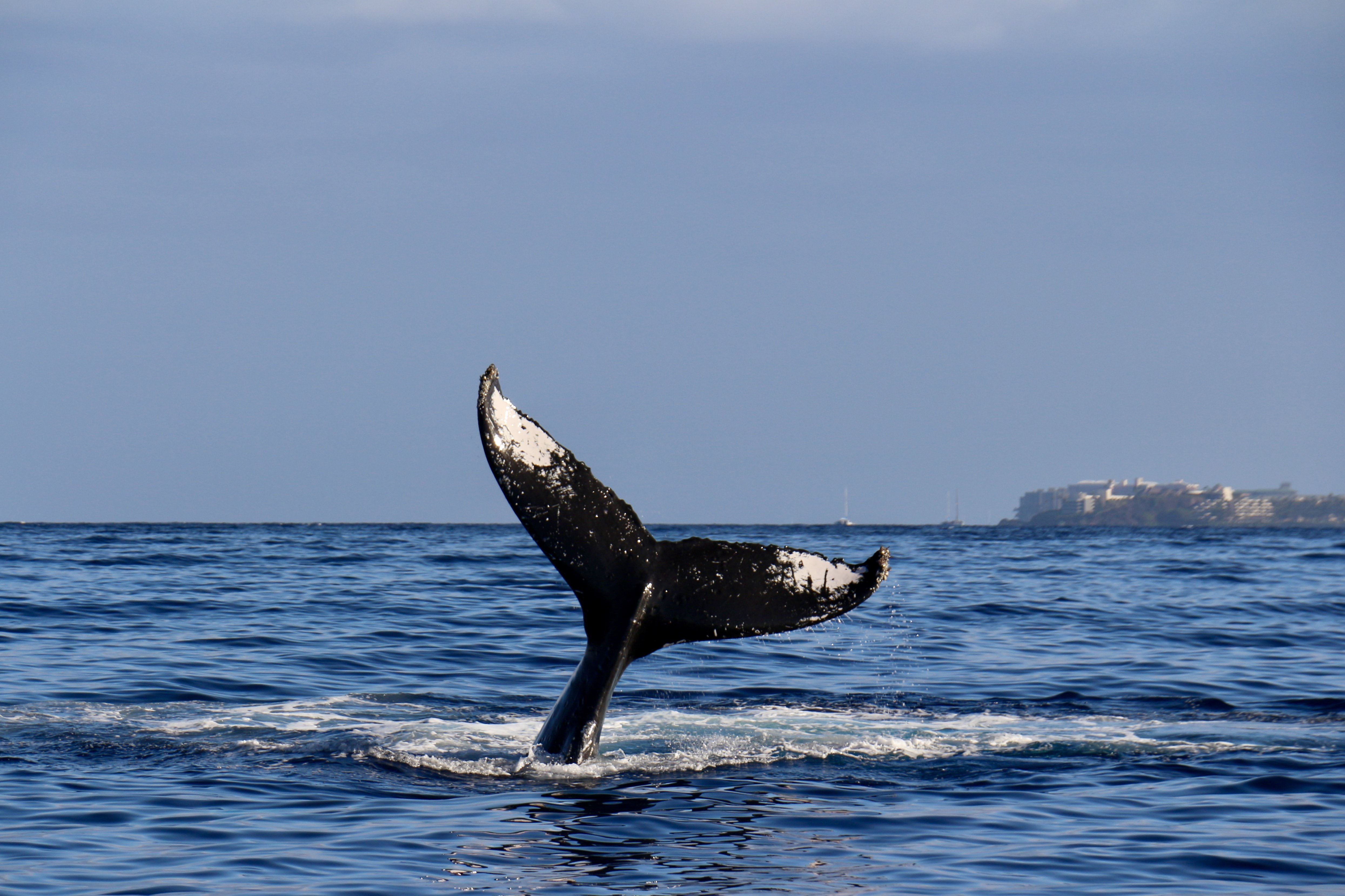 Humpback Whale flukes (tail).